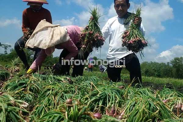 Segelintir petani Wuryantoro mulai memanen bawang merah di lahan pasang surut WGM